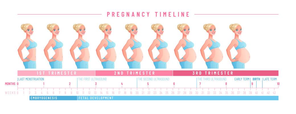 Les étapes de la grossesse